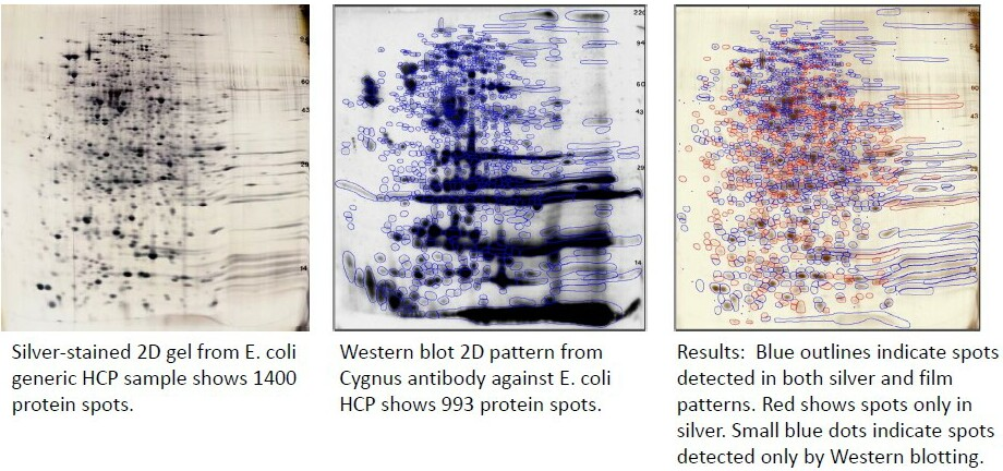 HCP Antibody Analysis: 71% coverage detected comparing total protein (silver) & western blot spots