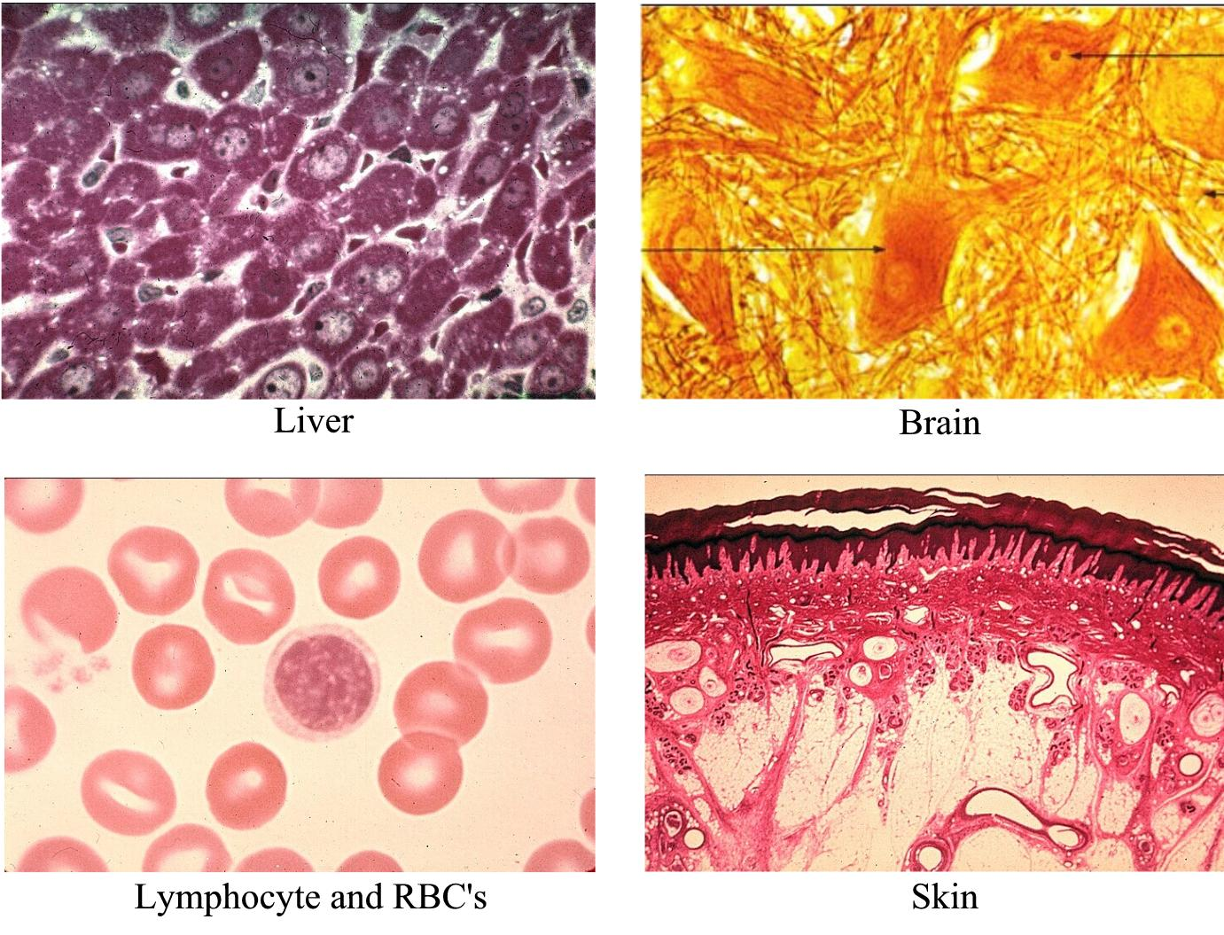 Images of tissues: liver, brain, lymphocytes & red blood cells (RBCs), and skin.