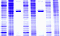 1D SDS PAGE services: protein analysis, quantification, western blot, IEF, MW distribution