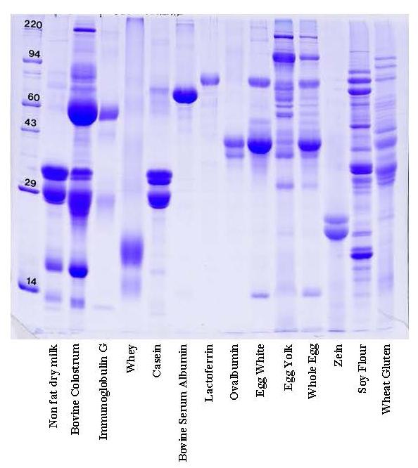 SDS PAGE gel food proteins: colostrum, Ig G, whey, casein, BSA, lactoferrin, ovalbumin, egg, zein
