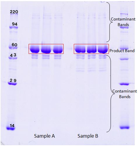 1D SDS PAGE to check protein product impurities (<20 ng).  Percent purity from Coomassie binding.