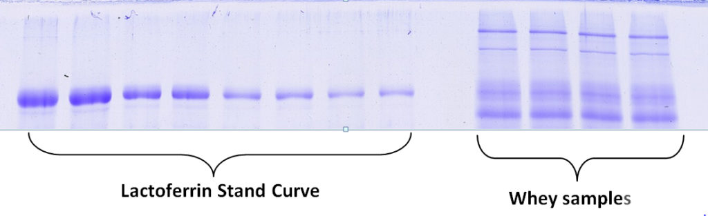 Coomassie-stained 1D SDS PAGE lactoferrin standard curve to quantify whey sample lactoferrin