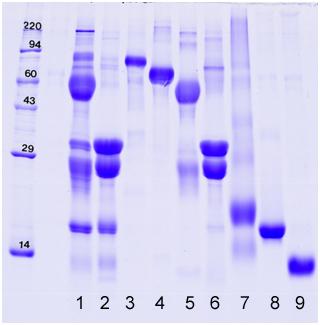 1D gel: milk (whole, individual), colostrum, BSA, IgG, casein, whey, lactoferrin, lactoglobulin