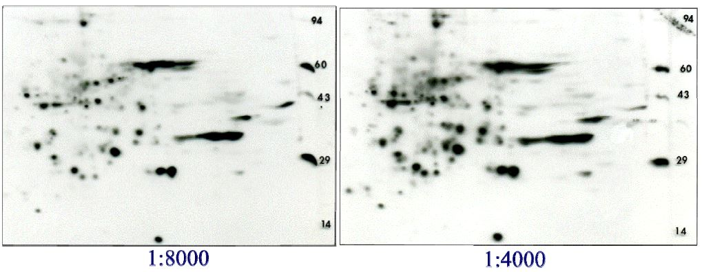 2D gel Western blot of rat liver homogenate probed with combined phospho serine/threonine antibody