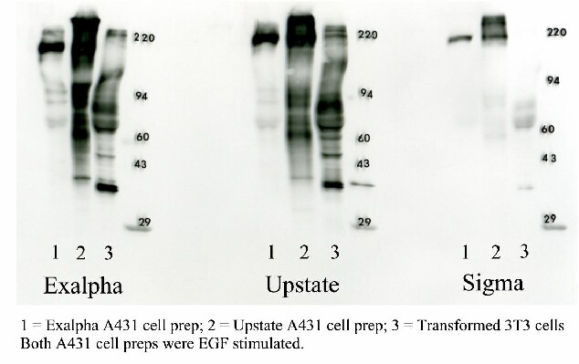 Western blot Optimization: 3 positive control samples probed with 3 phosphotyrosine antibodies