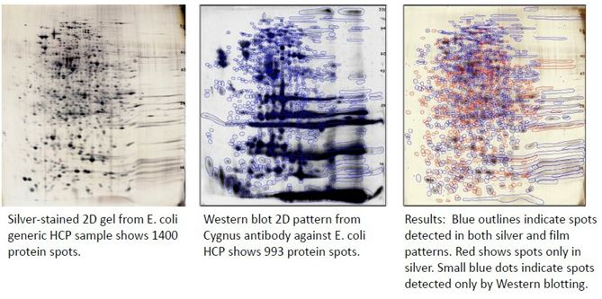 2D Gel HCP analysis difference image: comparison of anti-HCP Western blot & 2D gel (total protein)