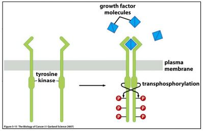 Receptor Tyrosine Kinases (RTK) dimerize ligand binding & transphosphorylate cytosolic tyrosines