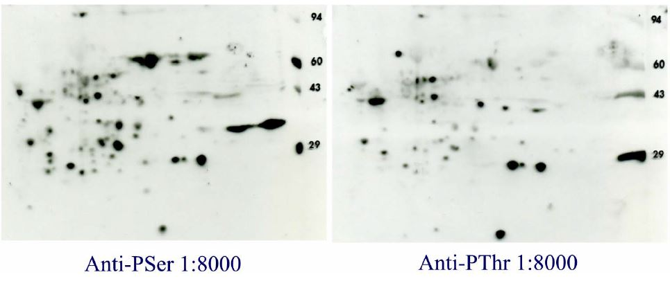 PhosphoSerine/Phospho Threonine 2D Western blot results with ECL Advance for 2D gels with rat live