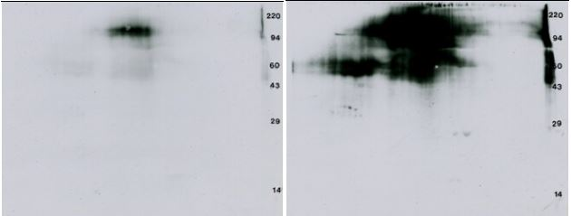 2D Western blot: P32 VEGFR & Anti-phosphotyrosine Western blot. Glycosylation (fuzziness) apparent.